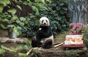 پیرترین پاندای دنیا 37 ساله شد + تصاویر