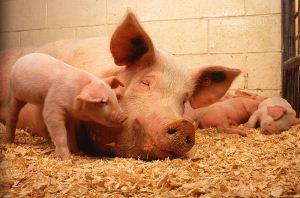 عکس های جالب از خوکی که فقط 2 پا دارد