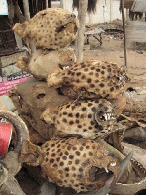 بازارهای خرید و فروش جمجمه حیوانات در جهان