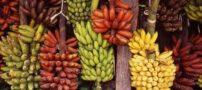 خواص مفید موز قرمز برای بدن انسان