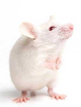 جهت یابی موش ها با استفاده از سبیل هایشان