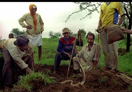 ریختن سم روی بدن نوزادان ماربازان هندی پس از تولد