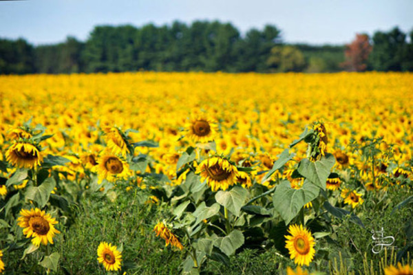 جالب ترین مزرعه آفتابگردان (+عکس)