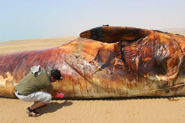 لاشه نهنگ ۱۳ متری در سواحل بوشهر !+ تصاویر