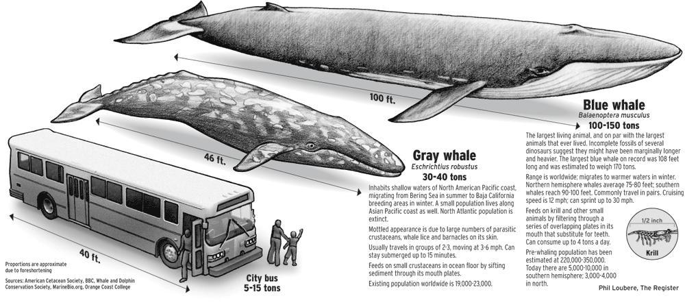 بزرگترین قلب جهان مربوط به نهنگ آبی (+عکس)