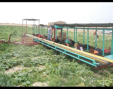 ایده جالب دراز کشیدن کارگران برای درو محصولات کشاورزی + تصاویر