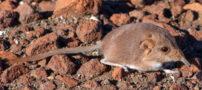 کشف یک نوع جانور جدید در کویر های نامیبیا