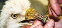 نوک مصنوعی و جالب عقاب (عکس)