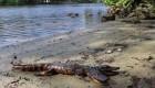 سوسمار دو سر در ایالت فلوریدا +عکس