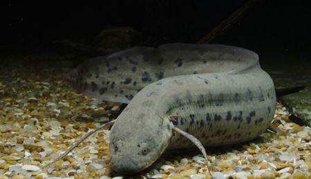 این ماهی عجیب 5 سال بدون آب و غذا زنده می ماند (+عکس)