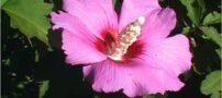 درمان سریع سرفه با گیاهان طبیعی