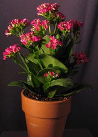نگهداری و تکثیر گیاه زیبای کالانکوئه