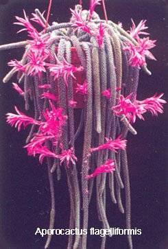 عکس هایی از انواع مختلف کاکتوس Cactus
