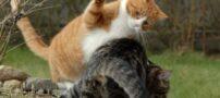 تصاویری زیبا از گربه های نینجا