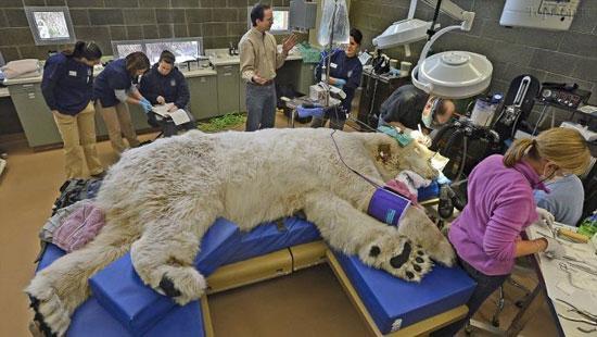 درمان دندان درد خرس قطبی (+عکس)