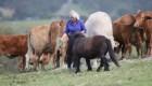 عکس گرفتن این خانم گاوها را ناراحت کرد