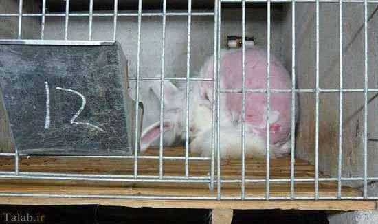 رفتار غیر اخلاقی انسان با خرگوش ها + تصاویر