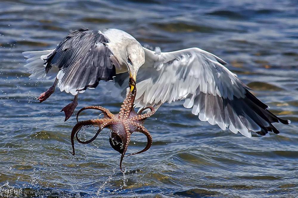 عکس های شکار اختاپوس توسط مرغ دریایی