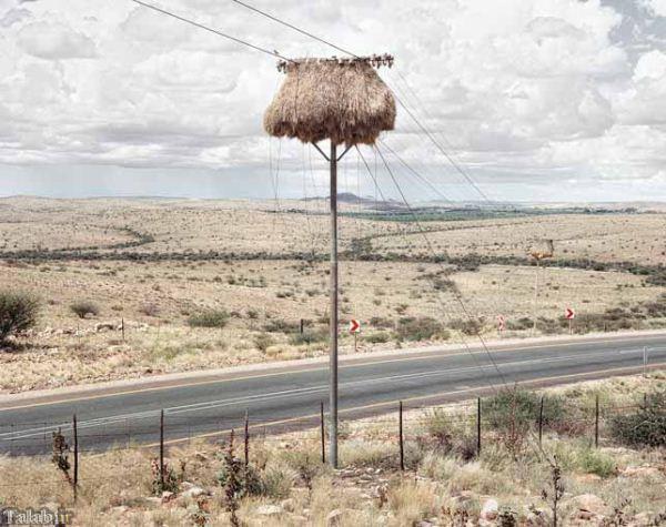 تصاویری از بزرگترین آشیانه های پرندگان