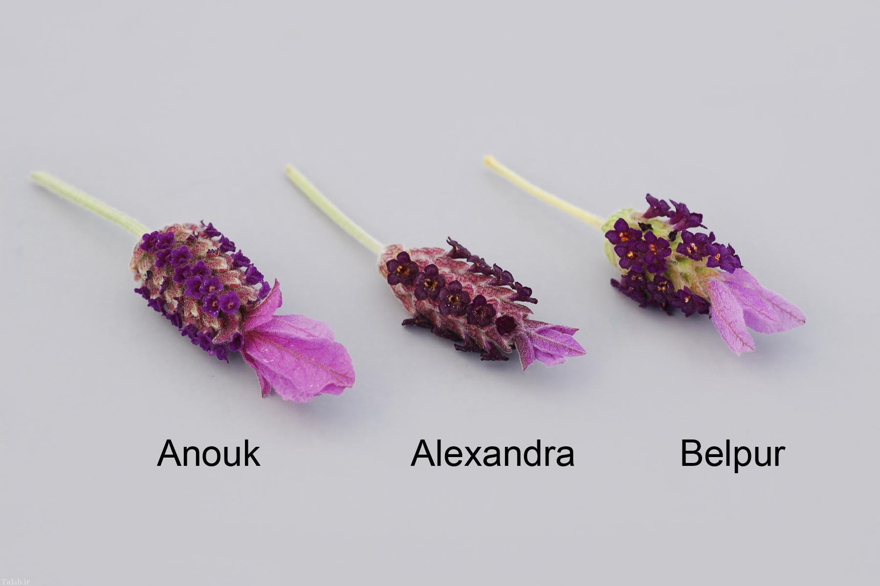 خواص گیاهی اسطوخودوس از دیدگاه طب سنتی