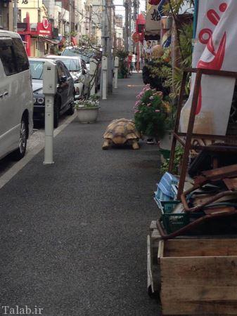 پیاده روی جالب مرد ژاپنی با لاک پشت (عکس)