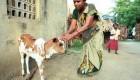خدای هندی ها گاو سه چشم شده است !+ عکس