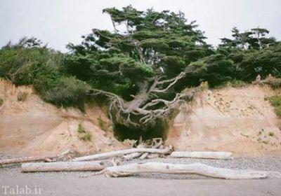 درختی که در هوا معلق است + عکس