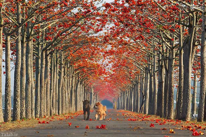 تصاویر بی نظیر از پیاده روهای رویایی و عاشقانه