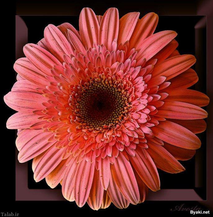 تصاویر دیدنی از گل های زیبا