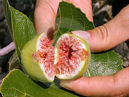 انجیر میوه ای سرشار از خواص
