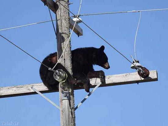 بازی گوشی خرس روی تیر چراغ برق