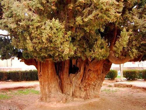 درختی در یزد که توسط پسر نوح کاشته شده است + عکس