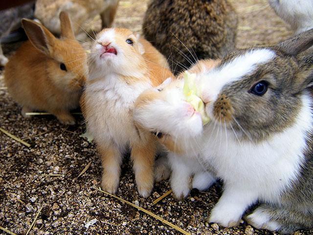 تصاویری از جزیره خرگوش ها در ژاپن