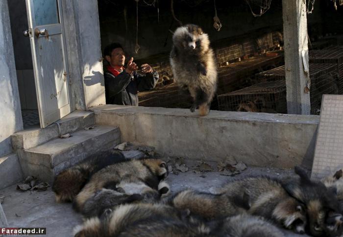 """آزار و شکنجه سخت حیوانات برای استفاده از """"خز"""" (عکس)"""