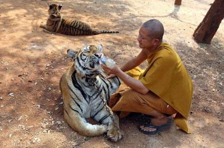 تصاویر دیدنی از معبد ببر ها واقع در تایلند