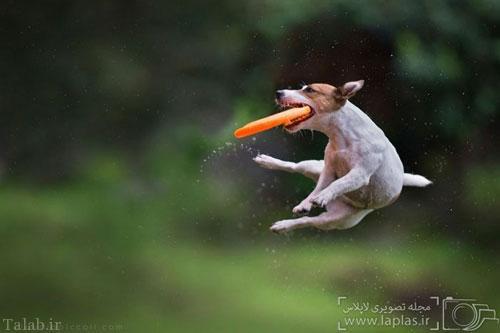تصاویر جالب و دیدنی از پرواز سگ ها