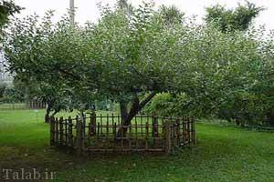 درخت سیب مشهور نیوتن که تاریخ را عوض کرد (عکس)