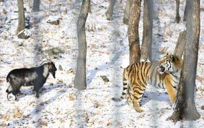 دوستی عجیب ببری با شکارش (تصاویر)