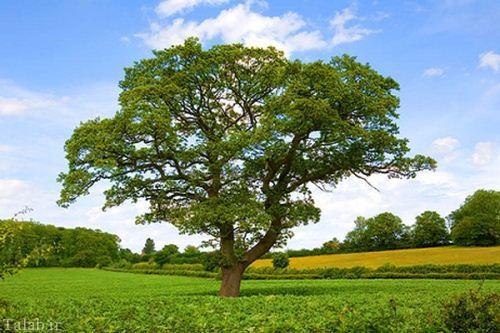 درختان عجیبی که راه می روند + تصاویر