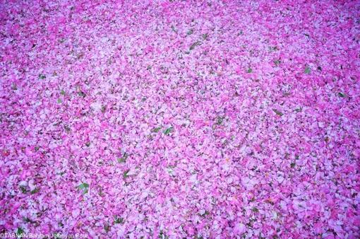 تصاویری زیبا از گلاب گیری سنتی