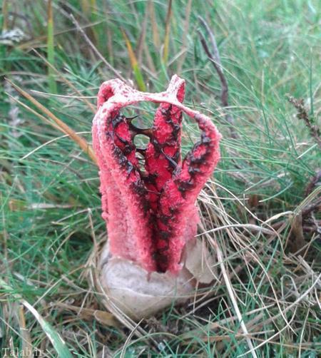 قارچ عجیب با ظاهر شیطانی + تصاویر