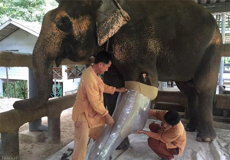 تصاویر جالب از ساخت پای مصنوعی برای فیل