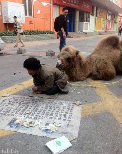 گدایی با شتر در چین + عکس
