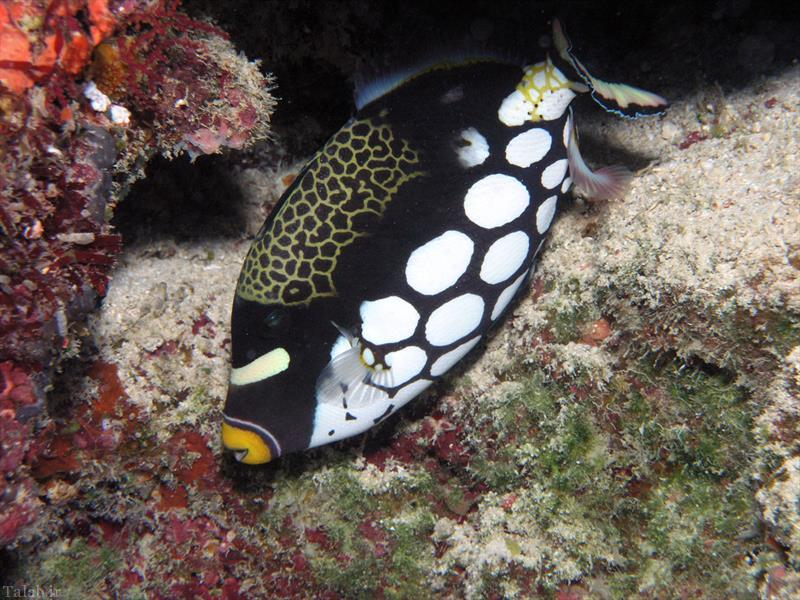 تصاویری از ماهی تریگر دلقک