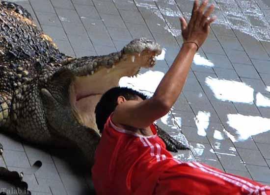 جان مربی در دست تمساح + عکس