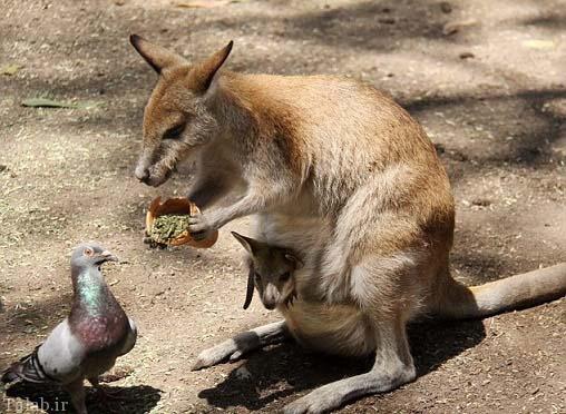 دوستی عجیب کانگورو با کبوتر