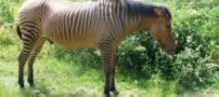 عکس های جالب و دیدنی از حیوانات دو رگه