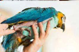 طوطی کرک و پر ریخته که خوشتیپ تر شده است (عکس)
