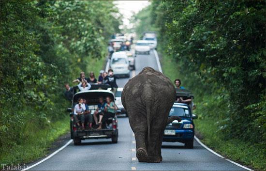قدم زدن فیل غول پیکر در خیابان ترافیک بزرگی ایجاد کرد + عکس