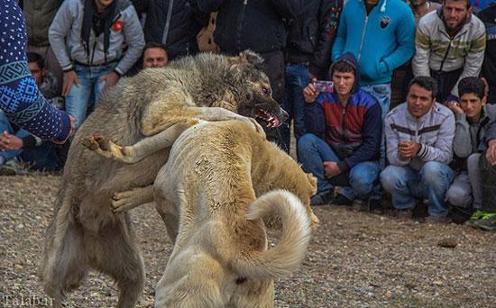 نبرد خونین سگهای وحشی در شهر زنجان + تصاویر